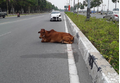 Vụ con bò