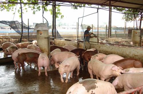 giá heo hơi hôm nay, giá lợn hơi mới nhất