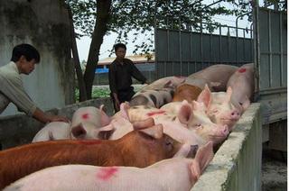 Dự báo giá heo hơi hôm nay 19/1: Giá lợn hơi mới nhất 37.000 đồng/kg