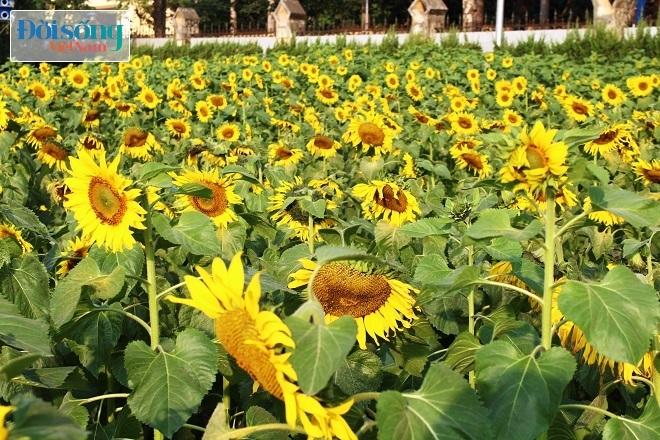 Giới trẻ Hà thành tự sướng bên vườn hoa hướng dương13