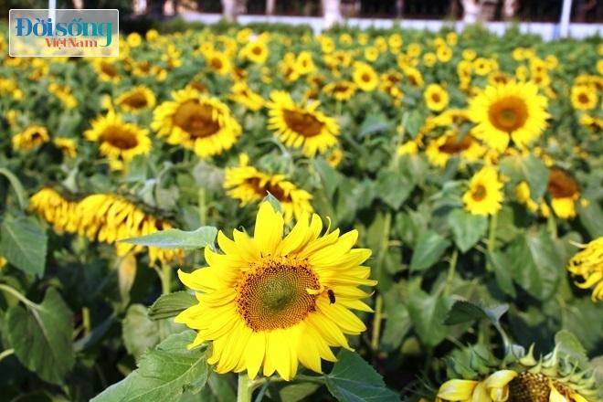 Giới trẻ Hà thành tự sướng bên vườn hoa hướng dương3