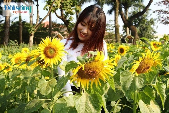 Giới trẻ Hà thành tự sướng bên vườn hoa hướng dương6