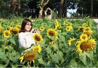 Cánh đồng hoa hướng dương ngay giữa thủ đô Hà Nội khiến giới trẻ mê mẩn