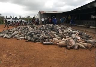 Xót xa hơn 1.000 con lợn chết cháy vì điện giật ở Đắk Nông