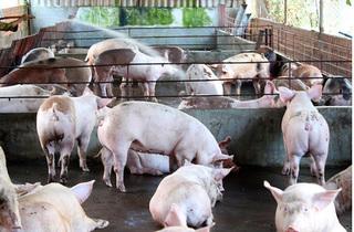 Dự báo giá heo hơi hôm nay 21/1: Giá lợn hơi mới nhất 36.000 đồng/kg