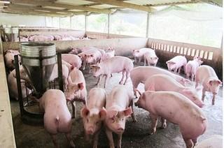 Dự báo giá heo hơi hôm nay 22/1: Giá lợn hơi mới nhất 35.000 đồng/kg