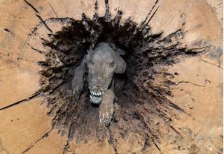 Thi thể chú chó mắc kẹt trong thân cây gần 60 năm vẫn nguyên vẹn