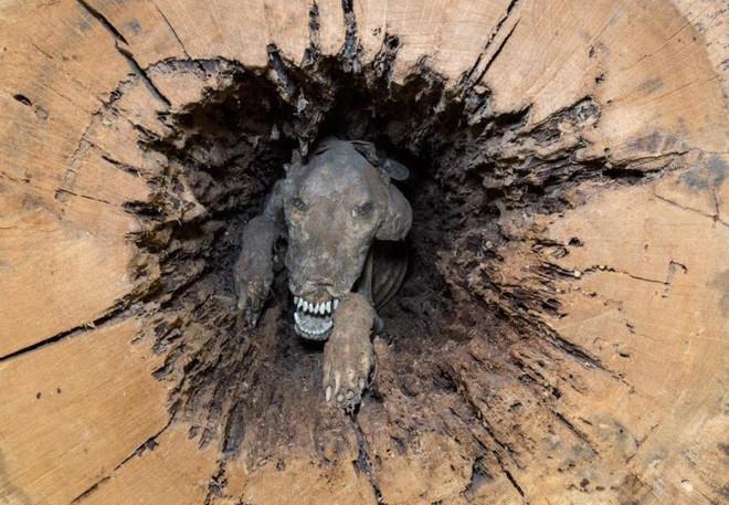 thi thể chú chó mắc kẹt trong thân cây 60 năm