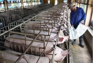 Dự báo giá heo hơi hôm nay 24/1: Giá lợn hơi mới nhất 36.000 đồng/kg