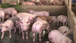 Dự báo giá heo hơi hôm nay 25/1: Giá lợn hơi mới nhất 35.000 đồng/kg