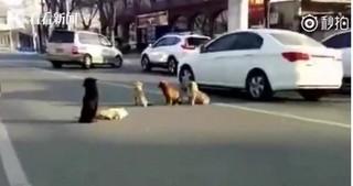Cảm động hình ảnh 4 chú chó đứng vây quanh bảo vệ