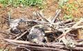 Tiêu hủy 4 con chim cú và diều hoa quý hiếm, hạt kiểm lâm Móng Cái nói gì?