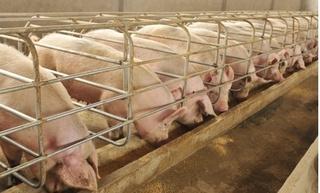 Dự báo giá heo hơi hôm nay 29/1: Giá lợn hơi mới nhất 34.000 đồng/kg