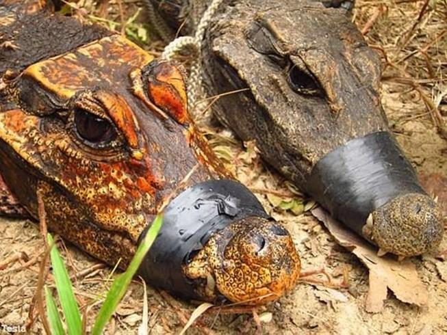 Cá sấu màu da cam độc đáo tại miền Tây châu Phi