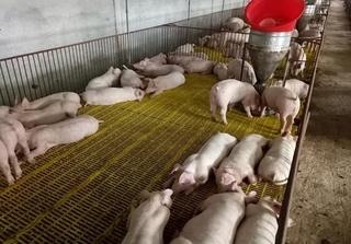 Dự báo giá heo hơi hôm nay 2/2: Giá lợn hơi mới nhất 38.000 đồng/kg