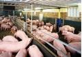 Dự báo giá heo hơi hôm nay 4/2: Giá lợn hơi mới nhất 35.000 đồng/kg