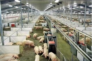 Dự báo giá heo hơi hôm nay 5/2: Giá lợn hơi mới nhất 36.000 đồng/kg