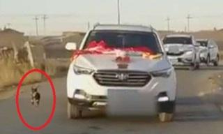 Chú chó chạy theo xe hoa 6km để tiễn cô chủ về nhà chồng đến kiệt sức