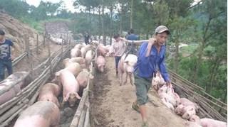 Dự báo giá heo hơi hôm nay 10/2: Giá lợn hơi mới nhất ở miền Bắc tăng nhẹ