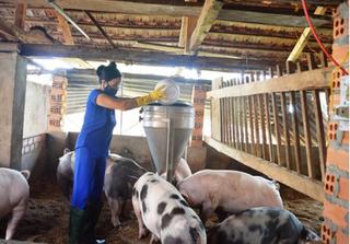 Dự báo giá heo hơi hôm nay 11/2: Giá lợn hơi mới nhất tăng dịp cận Tết