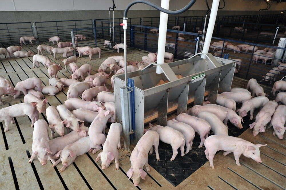 Dự báo giá heo hơi hôm nay 12/2: Giá lợn hơi mới nhất ở miền Bắc giảm nhẹ