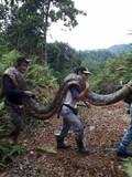 Malaysia: Bắt được rắn trăn khổng lồ nặng 100 kg