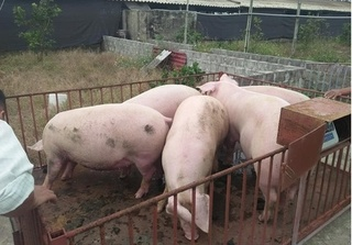 Dự báo giá heo hơi hôm nay 18/2: Giá lợn hơi mới nhất ít biến động