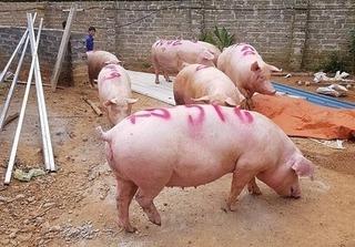 Dự báo giá heo hơi hôm nay 20/2: Giá lợn hơi mới nhất giữ đà tăng
