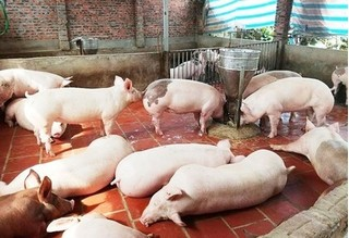 Giá heo hơi hôm nay 21/2: Giá lợn hơi mới nhất tăng cao