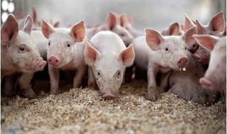 Dự báo giá heo hơi hôm nay 22/2: Giá lợn hơi mới nhất tăng đột biến