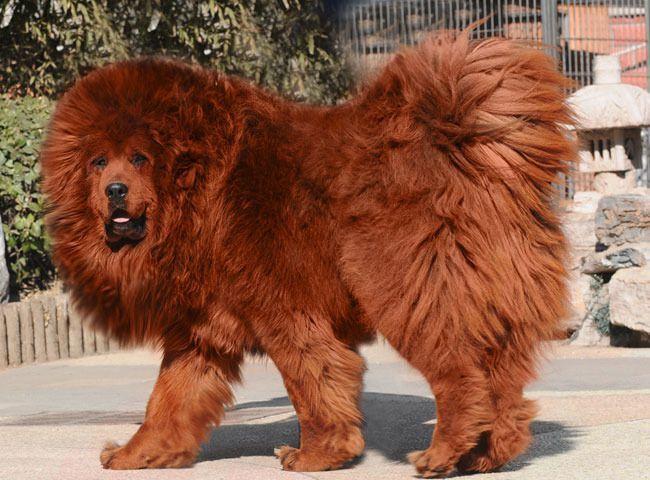 Những loài chó đắt giá nhất hành tinh có giá cả ngàn USD