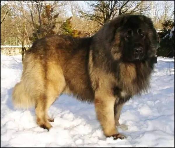 loài chó đắt giá nhất hành tinh có giá cả ngàn USD