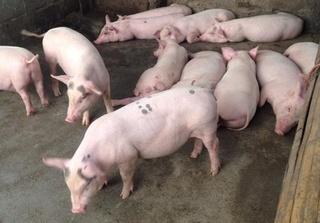 Dự báo giá heo hơi hôm nay 24/2: Giá lợn hơi mới nhất tăng ở 3 miền