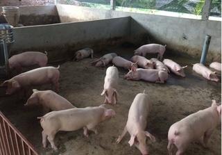 Dự báo giá heo hơi hôm nay 25/2: Giá lợn hơi mới nhất ở miền Bắc sụt giảm