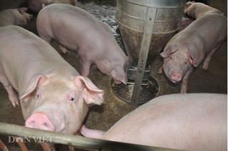 Dự báo giá heo hơi hôm nay 27/2: Giá lợn hơi mới nhất giảm 2.000 đồng/kg