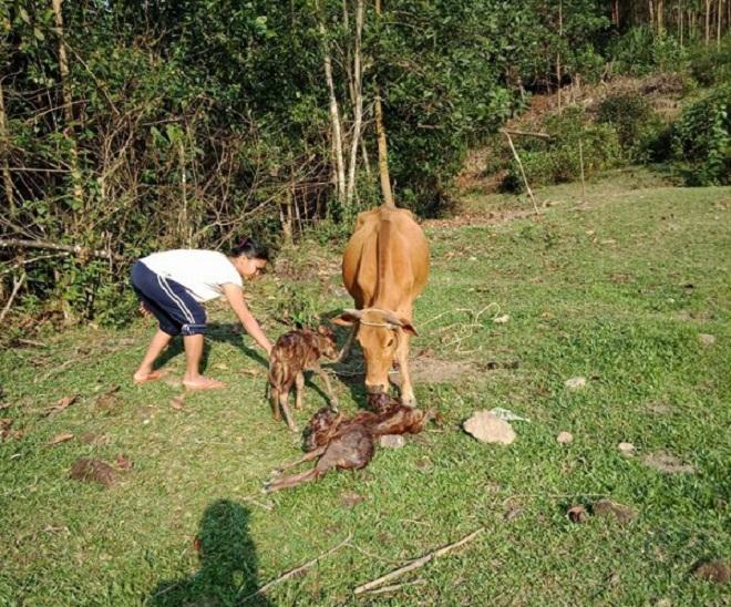 Hi hữu: Bò mẹ sinh 3 gây xôn xao ở Quảng Nam