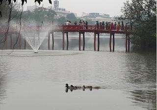 Sau thiên nga, Hồ Gươm lại xuất hiện đàn vịt trời 'bí ẩn'