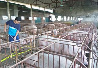 Dự báo giá heo hơi hôm nay 4/3: Giá lợn hơi mới nhất tại miền Bắc biến động