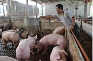 Dự báo giá heo hơi hôm nay 6/3: Giá lợn hơi mới nhất ở miền Bắc giảm nhẹ