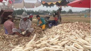 Ủ hóa chất 'biến' khoai mì thành đông dược