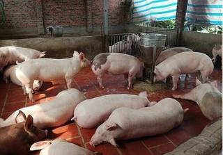 Dự báo giá heo hơi hôm nay 7/3: Giá lợn hơi mới nhất ở miền Bắc khó tăng