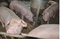 Dự báo giá heo hơi hôm nay 8/3: Giá lợn hơi mới nhất ở miền Bắc ổn định