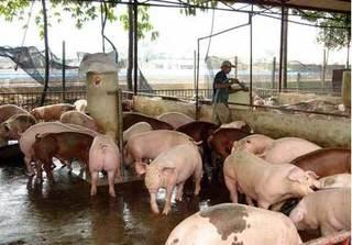 Dự báo giá heo hơi hôm nay 9/3: Giá lợn hơi mới nhất ở miền Bắc ảm đạm