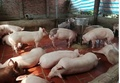 Dự báo giá heo hơi hôm nay 10/3: Giá lợn hơi mới nhất ở miền Bắc tăng nhẹ