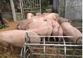 Dự báo giá heo hơi hôm nay 11/3: Giá lợn hơi mới nhất ở miền Bắc giảm nhẹ