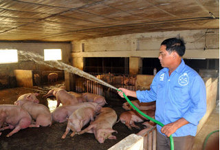 Dự báo giá heo hơi hôm nay 13/3: Giá lợn hơi mới nhất miền Bắc ảm đạm
