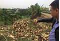Củ cải đường 500 đồng/kg không ai mua, người dân đổ hàng trăm tấn ra bờ sông