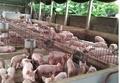 Dự báo giá heo hơi hôm nay 14/3: Giá lợn hơi mới nhất miền Bắc tăng nhẹ