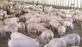 Dự báo giá heo hơi hôm nay 16/3: Giá lợn hơi mới nhất miền Bắc vẫn giảm