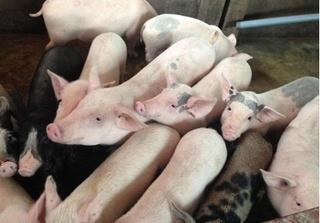 Dự báo giá heo hơi hôm nay 17/3: Giá lợn hơi mới nhất miền Bắc chưa dứt đà giảm